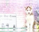 Foxy Elegant Husky Puppy
