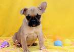 French Bulldog Puppy For Sale in MOUNT JOY, PA, USA