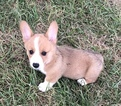 Pembroke Welsh Corgi Puppy For Sale in RUSSELLVILLE, Ohio,