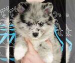 Puppy 1 Alaskan Klee Kai