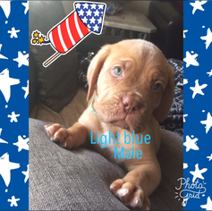 Dogue de Bordeaux Puppy For Sale in HESPERIA, CA, USA