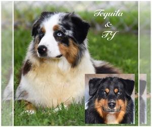 Father of the Australian Shepherd puppies born on 06/21/2021