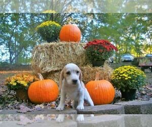 Beagle Puppy for Sale in STOKESDALE, North Carolina USA