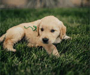 Golden Retriever Puppy for Sale in HONEYVILLE, Utah USA