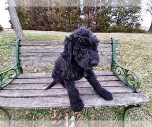 Goldendoodle Puppy for Sale in LEON, Kansas USA