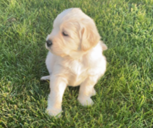 Goldendoodle Puppy for sale in JEFFERSON CITY, MO, USA
