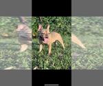 Small Photo #1 French Bulldog Puppy For Sale in HILLSBORO BCH, FL, USA