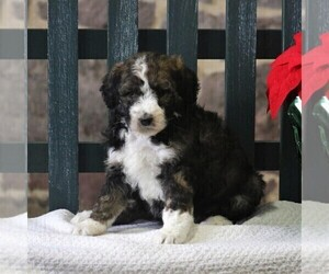 Bernedoodle-Poodle (Standard) Mix Puppy for sale in EAST EARL, PA, USA