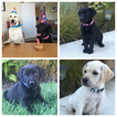 Labrador Retriever Puppy For Sale in WOODBURN, OR, USA