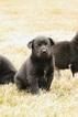 Small #6 Labrador Retriever-Siberian Husky Mix