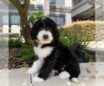 Small #10 Bernedoodle