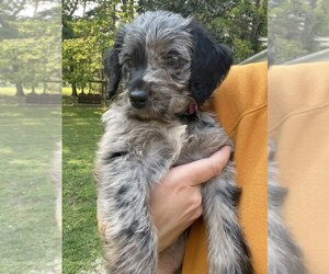 Labradoodle Puppy for Sale in THOMASVILLE, Georgia USA