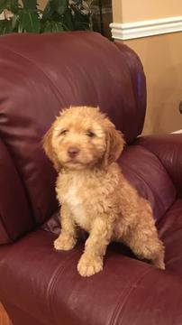 Brittnepoo Mix puppy