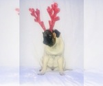 Small Photo #1 Pug Puppy For Sale in NEW RIVER, AZ, USA