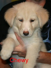 Goberian Puppy for sale in DAVENPORT, FL, USA