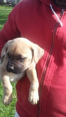Cane Corso Puppy for sale in CLEVELAND, OH, USA