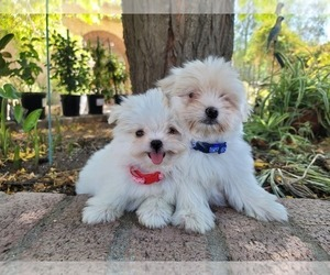 Shih-Poo Puppy for Sale in LOS ANGELES, California USA