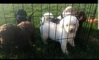 Labradoodle Puppy For Sale in DECATUR, IN,