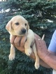 Labrador Retriever Puppy For Sale in WATERTOWN, WI, USA