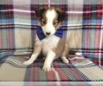 Rex the Shetland Sheepdog