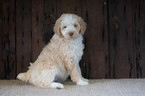 Aussiedoodle-Poodle (Standard) Mix Puppy For Sale in KENSINGTON, OH, USA