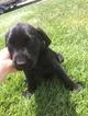 Labrador Retriever Puppy For Sale in HESPERIA, CA