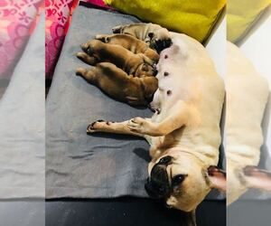 Mother of the French Bulldog puppies born on 10/06/2020