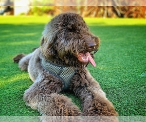 Labradoodle Puppy for sale in SAN FRANCISCO, CA, USA