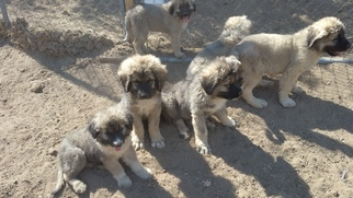 Caucasian Shepherd Dog Puppy for sale in FRAZIER PARK, CA, USA
