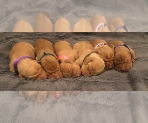 Vizsla Puppy for sale in MORGAN, UT, USA