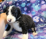 Small #4 Bernedoodle