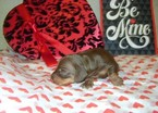 Dachshund Puppy For Sale in ARCADIA, FL