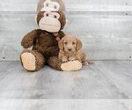 Golden Retriever-Poodle (Toy) Mix Puppy For Sale in CLEVELAND, NC, USA