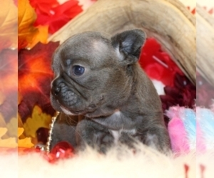 French Bulldog Puppy for sale in DREXEL HILLS, PA, USA