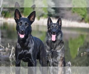 Dutch Shepherd Dog Puppy for sale in VALLEY CENTER, CA, USA