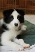 Border Collie Puppy For Sale in DULUTH, GA,