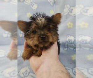 Yorkshire Terrier Puppy for Sale in KENDALL, Wisconsin USA