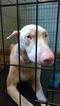 Doberman Pinscher Puppy For Sale in MILWAUKEE, WI, USA
