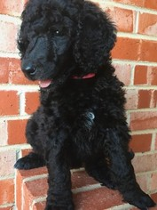 Poodle (Standard) Puppy For Sale in WICHITA FALLS, TX