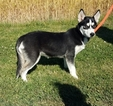 Siberian Husky Puppy For Sale in ARTHUR, IL,