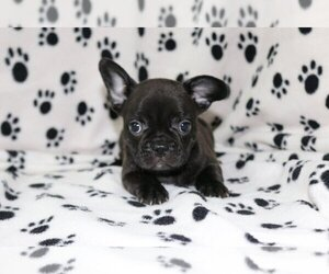 French Bulldog Puppy for sale in AUSTIN, TX, USA