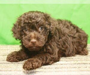 Havanese-Poodle (Toy) Mix Puppy for Sale in SHAWNEE, Oklahoma USA