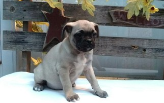 Jug Puppy For Sale in STEVENS, PA, USA