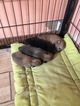 Pomeranian Puppy For Sale in MONTGOMERY CITY, MO, USA