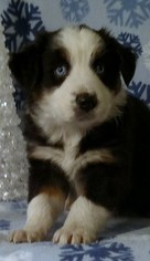 Australian Shepherd Puppy for sale in PIERCETON, IN, USA