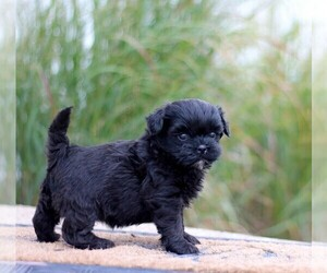 ShihPoo Puppy for sale in BURLINGTON, IA, USA