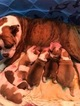 Olde English Bulldogge Puppy For Sale in OZARK, AL,