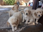 Golden Retriever Puppy For Sale in CO SPGS, CO, USA