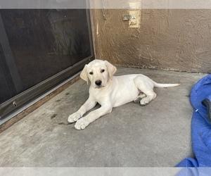 Labrador Retriever Puppy for sale in SAN JOSE, CA, USA