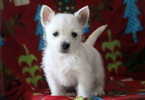West Highland White Terrier Puppy For Sale in MOUNT JOY, PA, USA